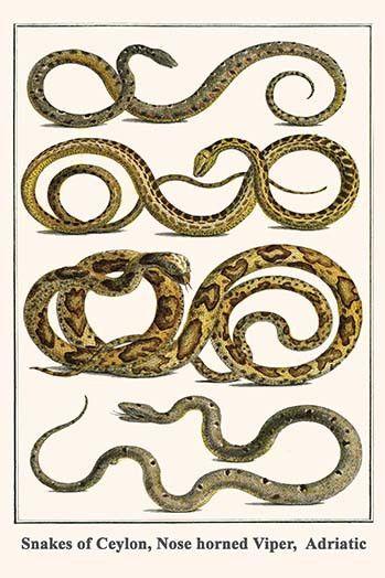 Snakes of Ceylon, Nose horned Viper, Adriatic