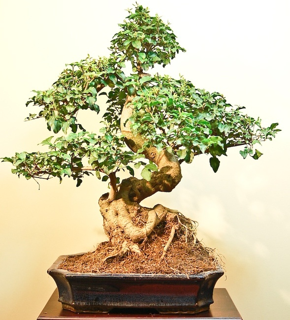 14 best love bonsai trees images on pinterest bonsai trees bonsai and indoor bonsai tree. Black Bedroom Furniture Sets. Home Design Ideas