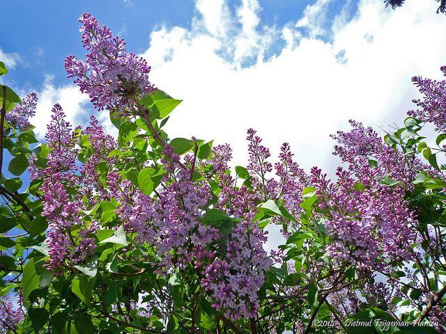Πασχαλιά . Φυλλοβόλο είδος με όρθιο σχήμα που μπορεί να φτάσει έως τα 5 m ύψος. Τα φύλλα είναι καρδιόσχημα με μωβ-λιλά άνθη που εμφανίζονται γύρω στο Μάιο με εύρος ανθοφορίας τις 15-20 μέρες περίπου. Πολύ ανθεκτικό στο κρύο. Αναπτύσσεται σε όλα τα εδάφη αλλά προτιμά τα αρδευόμενα και ηλιαζόμενα, αν και μπορεί να ανεχτεί μερική σκιά. Καλλωπιστικοί θάμνοι - Φυταγορά Σερρών