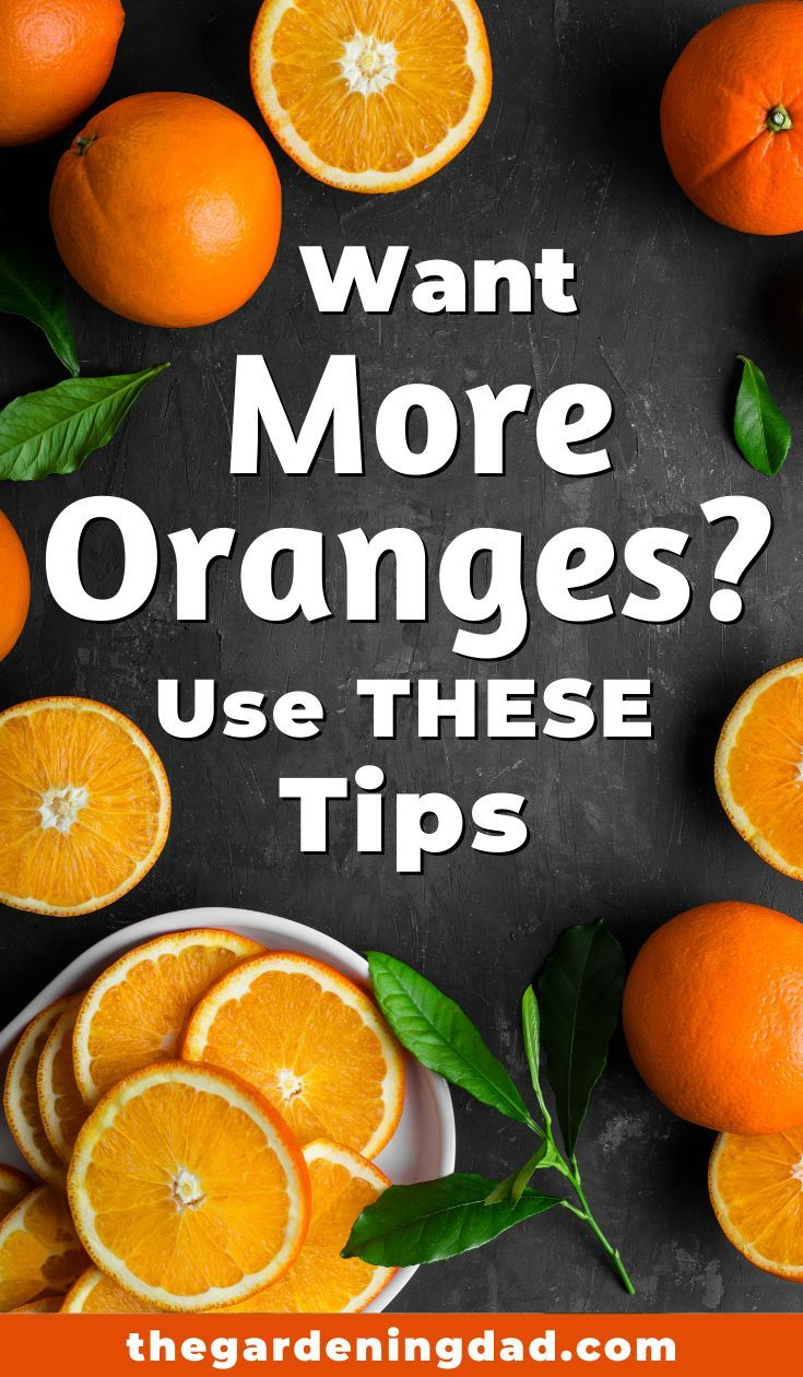10 Easy Tips How To Plant Orange Tree In Pot The Gardening Dad Potted Trees Growing Fruit Trees Orange Tree