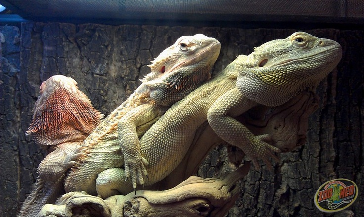 50 Best Bearded Dragons Images On Pinterest Reptiles
