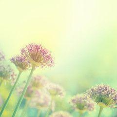 Blühende Zwiebeln