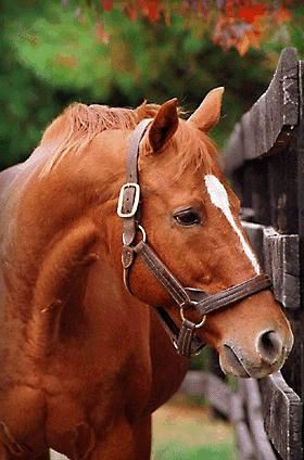 Thoroughbred triple crown winner Affirmed