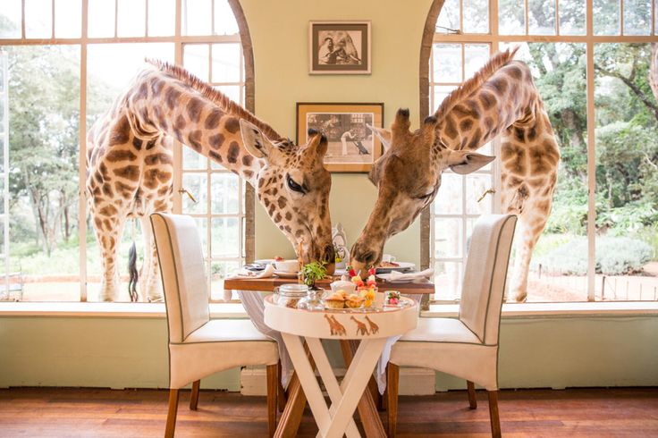 The 10 best lodges for a gourmet safari. It's not so much about the taste of the food at Nairobi's Giraffe manor (but we can confirm it's rather delicious), but about your fellow dining companions – and they would be the herd of gregarious Rothschild giraffe, often to be found poking their long necks through the windows of the breakfast room. Now that really does bring a whole new meaning to 'How would you like your eggs in the morning?'!