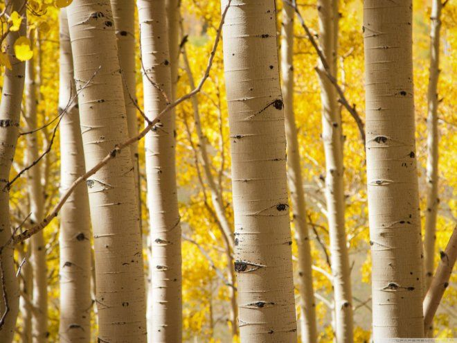 Birch tree is beautiful as-is and the wood is really stunning