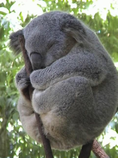 Koala - we have two that inhabit the eucalypt trees on our property (S.E.QLD). On extremely hot days they hide in the shade of jasmine that weaves it's way around a small gum tree.