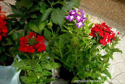 Ogrodnictwo od A do Z: Werbena ciekawą alternatywą do ogrodu i na balkon ...