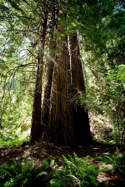 Les séquoias de Muir Woods