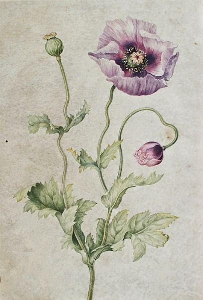 Johanna Helena Herolt Graff, Anemone, Late 17th - early 18th century.