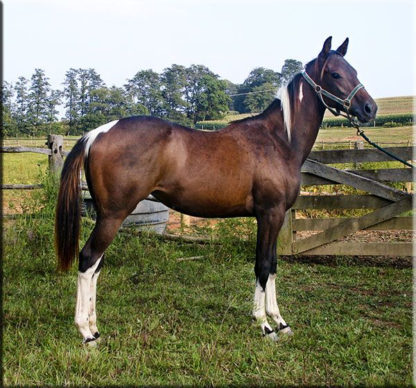 brown quarter horses for sale | Barrel Racing and Roping Prospects for Sale at Stone Hollow Farm