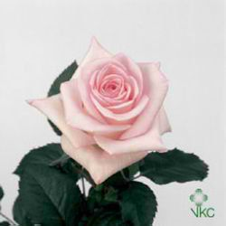 Sweet Akito Roses are pale pink & usually available all year round. 50cm stem lengths this wholesale cut flower is wholesaled in 20 stem wraps.
