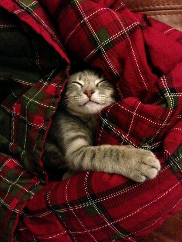 cat in tartan!