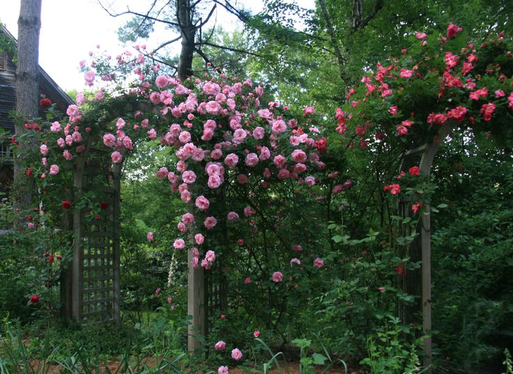 Front Yard Cottage Garden John Cabot Climbing Roses: 1000+ Images About William Baffin Climbing Roses On