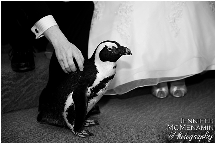 Cut wedding costs by using penguins for groomsmen: They don't need to rent tuxedos!