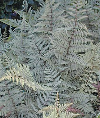 For by front door - Ghost Athyrium Fern  Upright clumps spread slowly and blend well with small, low-growing perennials. Easy to grow in rich, moist, well-drained soil. Sun: Full Shade   Height: 60-90com spread 30-45cm grow with silvery heuchera and