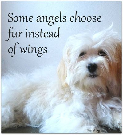 Aww! Beautiful Havanese Angel <3 HavaHug Havanese www.havahughavanese.com
