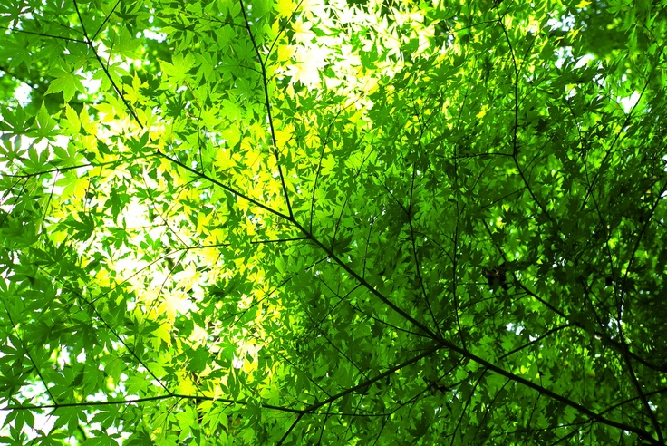 Japanese maples in the summer~
