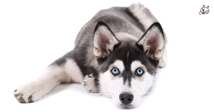 Did you know theese details about our  #Siberian_Husky puppies? Click the Link or the image now and learn everything about them ;) http://puppies4all.com/siberian-husky-puppies-for-sale/ #dog #doglover #puppy #p4a#puppies #dogs #adorable #lovely #funny #loyal #breeds;