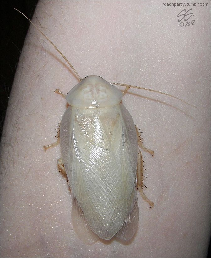 found a white cockroach