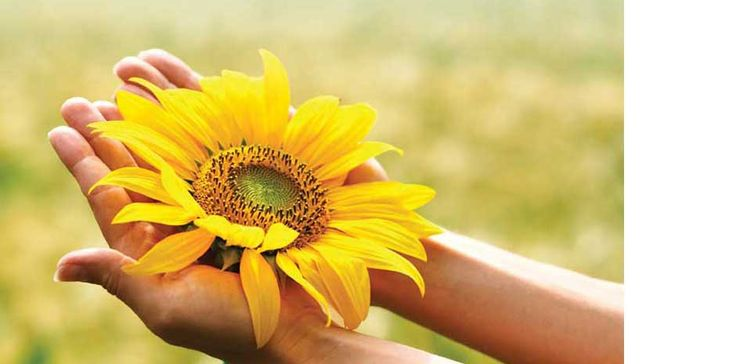 Image result for pictures of manitoba sunflowers