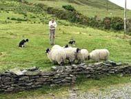 Sheep near ring of Kerry: Ireland Him, Girls, Favorite Places, Irish Ireland, Sheep Herding, Beautiful Rings, Fall In Love, Kerry Ireland, Rings Of Kerry
