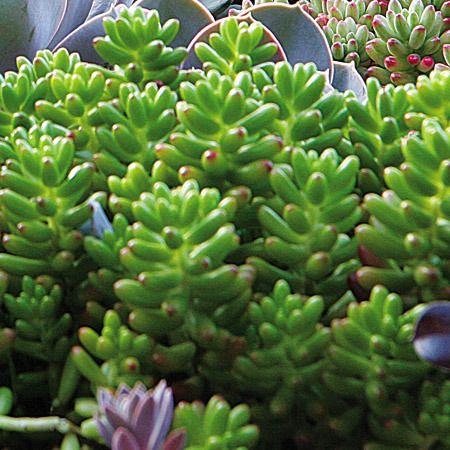 Nome popular: dedinho-de-moça. Nome científico: Sedum pachyphyllum