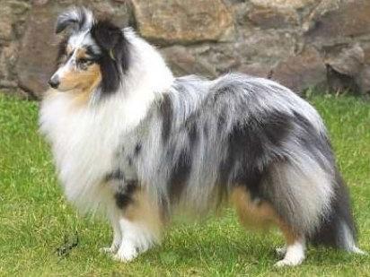 Pastor de las islas Shetland   Cuidar de tu mascota es facilisimo.com