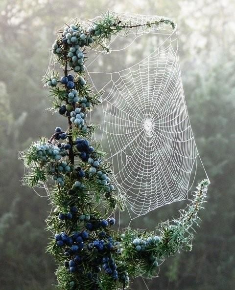 Spider web in Juniper...:  Spiders Web, Photos, Ears Mornings, Work Of Art, Spiderweb, I Hate Spiders, Mornings Dew, Mothers Natural, Berries