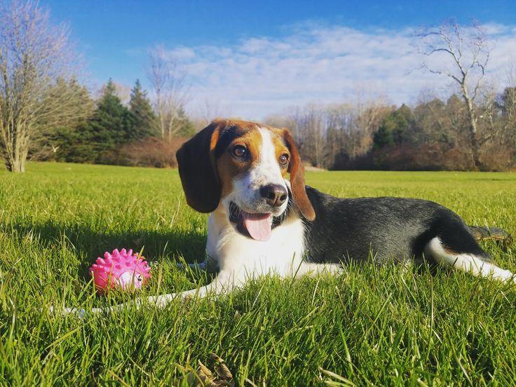 waffles the pocket beagle : beagle