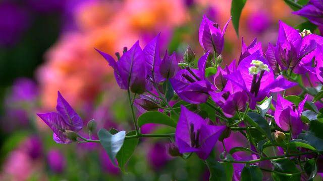 Bougenville Si Bunga Kertas Yang Selalu Cantik Gambar Bunga Bunga Bunga Cantik