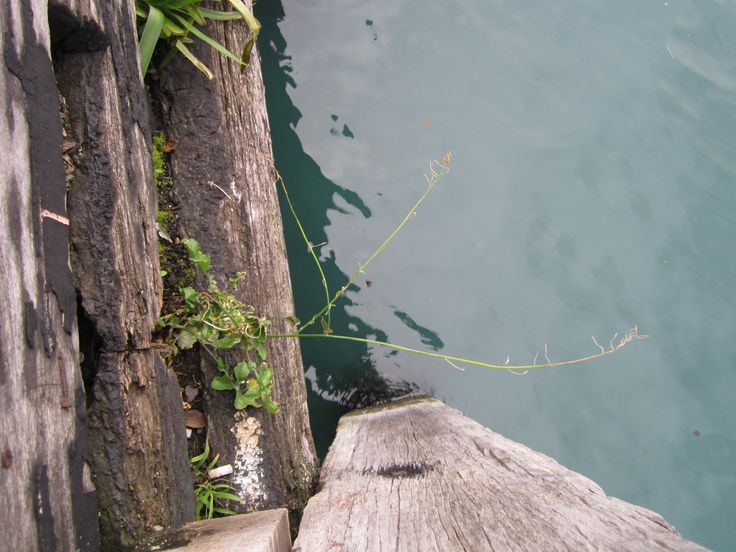 weeds hanging on the edge of a wharf in Wellington