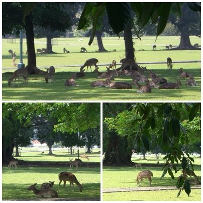 Deer in Bogor Palace, East Java, Indonesia