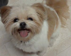 Pomeranian Shih Tzu mix | All you need to know about this breed like its temperament and life span here.