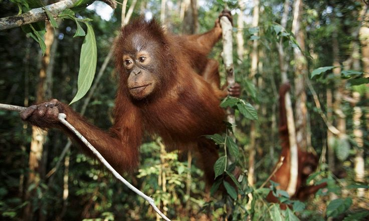 a study of orangutans Using the first known animal instruments, orangutans use leaves to make their  voices sound deeper, perhaps thereby tricking predators into.