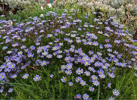 "Felicia aethiopica 'Tight & Tidy' (Groundcover) Highly Recommended. Year around bloom & a fantastic compact habit. Is a highly improved form of (usually 3' tall) ""Blue Marguerite Daisy"" that stays a dense 16"" high & 30"" wide. Bursting into a mass of rich blue daisies in Spring–Fall when deadheaded. No straggly behavior over time. Drought, clay & sand tolerant, side-dress with an annual dose of compost & cut back in Winter to give it a rest. Evergreen. Sun Low/Avg. Water"