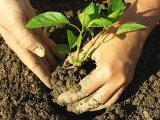 Чем подбодрить рассаду   После высадки рассаду желательно подбодрить раствором Корневина, поливая растения примерно по стакану на каждый кустик. Такие подкормки ускоряют укоренение растения и позволяют снизить задержку в раз…