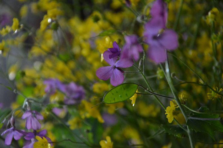 wild flower # yellow # violet # countriside flower # www.cabiancadellabbadessa.it