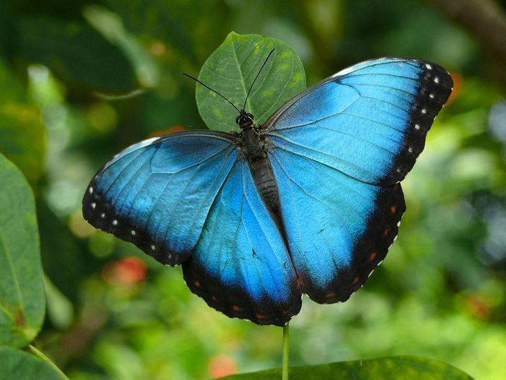 Overwhelmingly Pretty: Beautiful Butterflies, Mariposa Morpho, Blue Butterfly, Nature, Google Search, Costa Rica, Blue Morpho, Animal