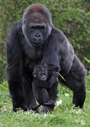 Bristol Zoo's baby gorilla Kukena holds onto his mother's arm as he ventures out of his enclosure at Bristol Zoo's Gorilla Island on May 4, 2012 in Bristol, England. The seven-month-old western lowland gorilla is starting to find his feet as he learns to walk. (Matt Cardy/Getty Images)