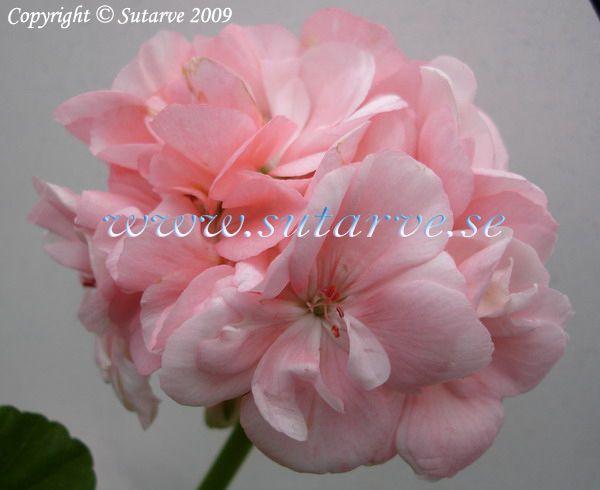 Mårbacka Tant Hanna. Ljusrosa blommor, rikblommande, från Karpalund utanför Kristanstad i Skåne.