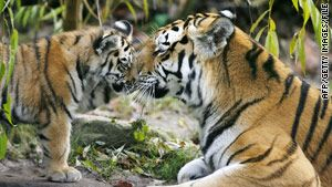 Tigers on verge of extinction in the wild, World Wildlife Fund warnsWild Animal, Big Cat, Tigers Families, Mothers Baby, Siberian Tigers, Baby Animal, Adorable Siberian, Adorable Things, Tigers Cubs