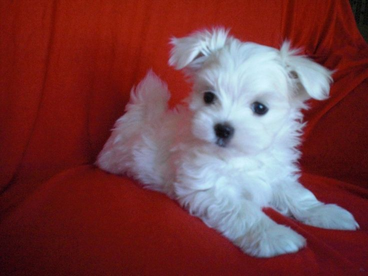 Toy Maltese Puppies
