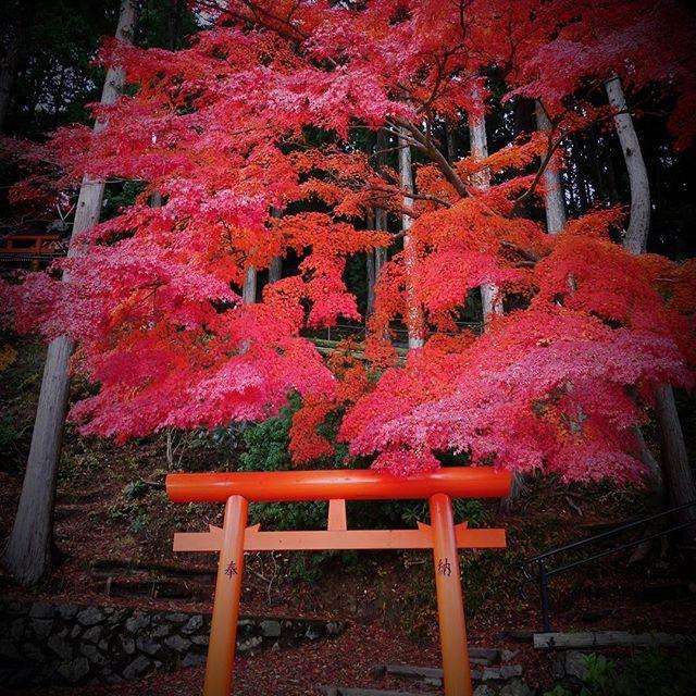 高野七弁天の一つである祓河弁財天。 こちらの紅葉は鮮やかな朱色を見せてくれました。撮影日11月15日 #高野山 #koyasan #紅葉 #晩秋  #⛩ #鳥居 #社 #弁天様 #autumn #shrine koyasan_nanzanbou Mount Kōya