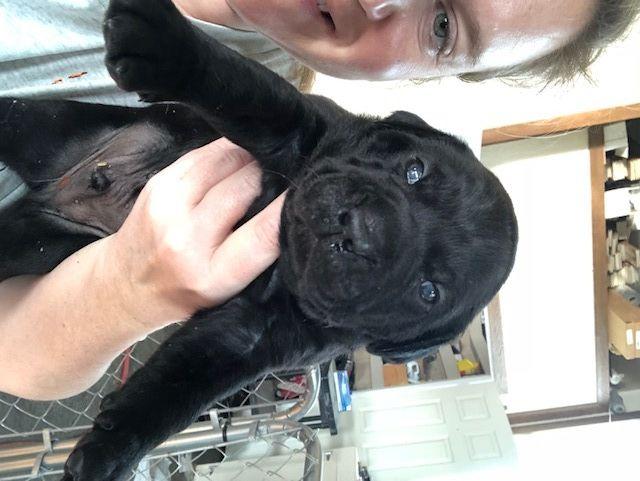 Litter Of 7 Mastador Puppies For Sale In Montgomery In Adn 65768