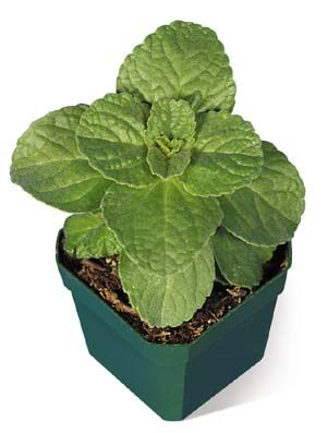 """""""Piss-Off Plant"""" keeps dogs and cats out of your garden beds!"""