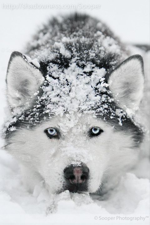dogs in the snow images - Google Search