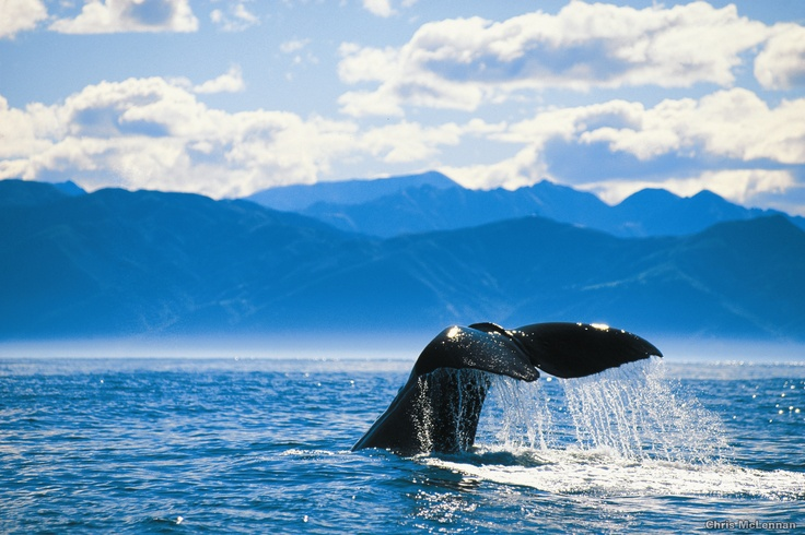 Experience the magic while whale watching in #Kaikoura #NZ #InfinityHolidays