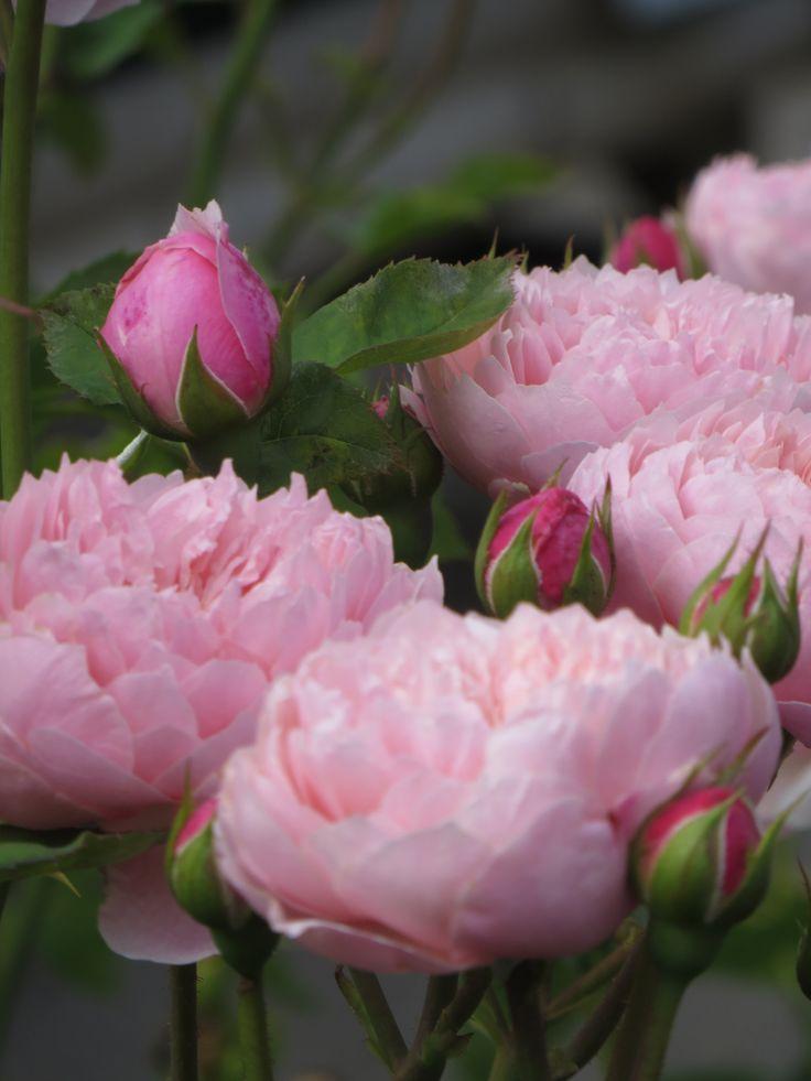 David Austin English Rose 'Alnwick'