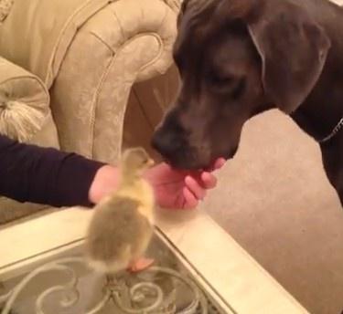14 månaders Grand danois möter för första gången en fågelunge http://blish.se/3a9081ccf3 #fåglar #hundar #djur #humor
