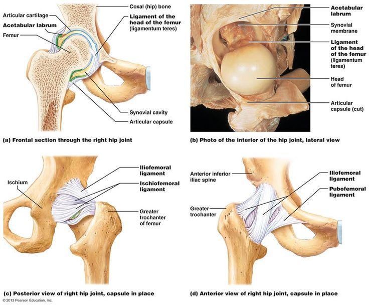 human skeleton hip joint – citybeauty, Skeleton